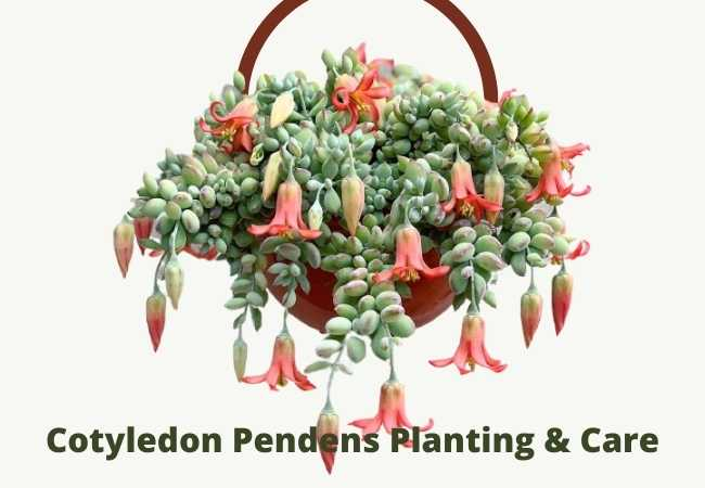 Mature Succulent Plant Cotyledon Pendend is a beautifully colored plant.